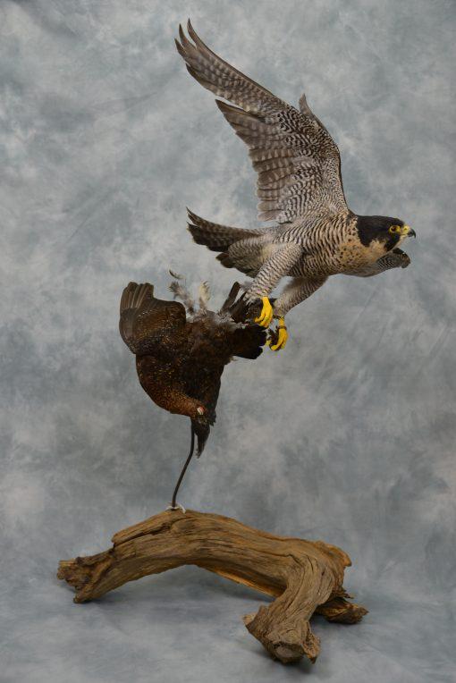 Peregrine Falcon - falco peregrinus Bird Taxidermy 17
