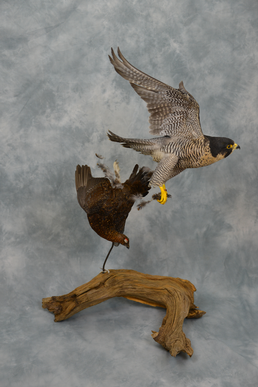 Exotic Birds For Sale >> Peregrine Falcon flying | UK Bird Small Mammal Taxidermist ...