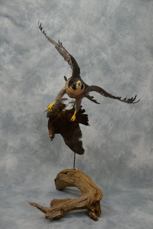Peregrine Falcon - falco peregrinus Bird Taxidermy 14