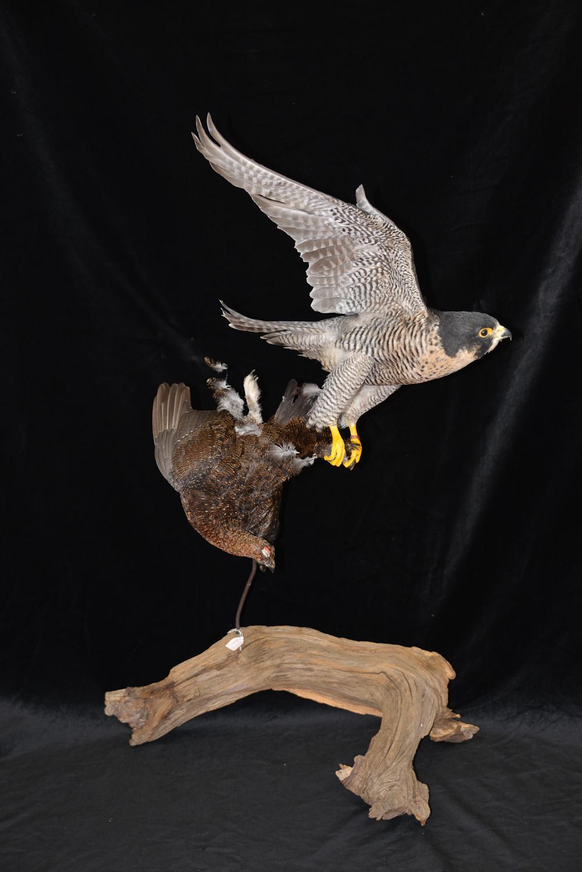 Peregrine Falcon - falco peregrinus Bird Taxidermy 5