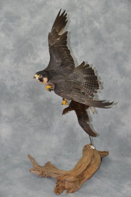 Peregrine Falcon - falco peregrinus Bird Taxidermy 12