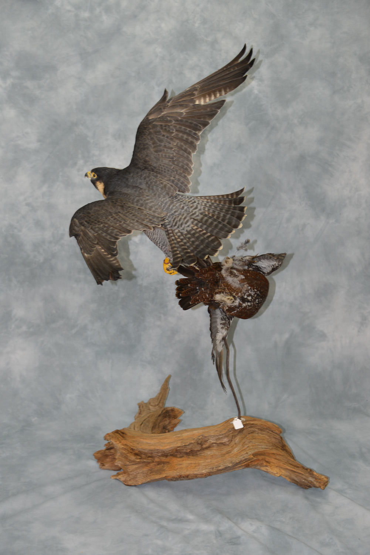 Peregrine Falcon flying | UK Bird Small Mammal Taxidermist