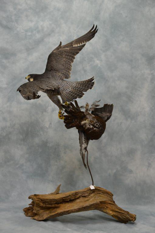 Peregrine Falcon - falco peregrinus Bird Taxidermy 9