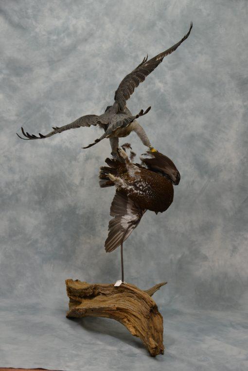 Peregrine Falcon - falco peregrinus Bird Taxidermy 8