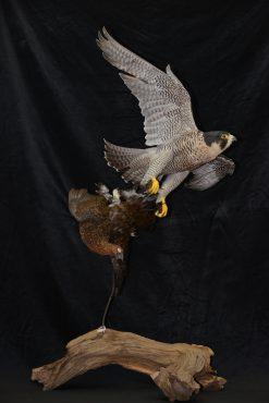 Peregrine Falcon - falco peregrinus Bird Taxidermy 2