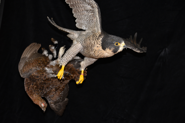 Peregrine Falcon - falco peregrinus Bird Taxidermy 27