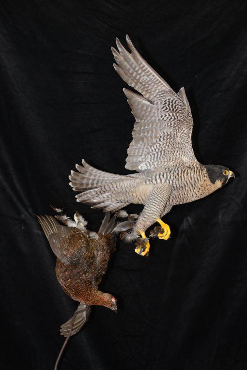 Peregrine Falcon - falco peregrinus Bird Taxidermy 26