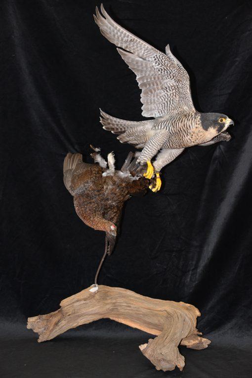 Peregrine Falcon - falco peregrinus Bird Taxidermy 7