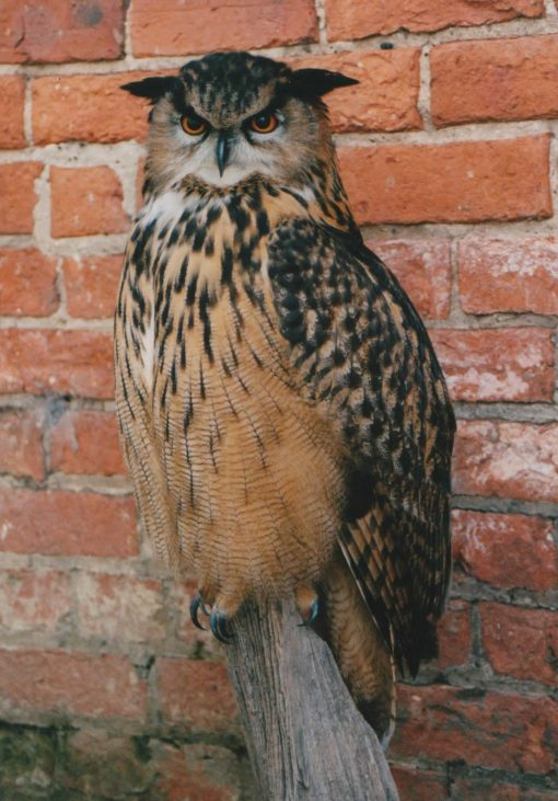 Taxidermy Eagle Owl - Bubo bubo