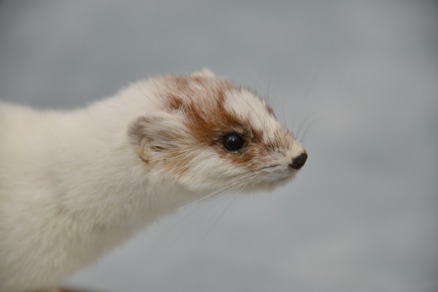 Ermine Stoat Taxidermy Mount Head