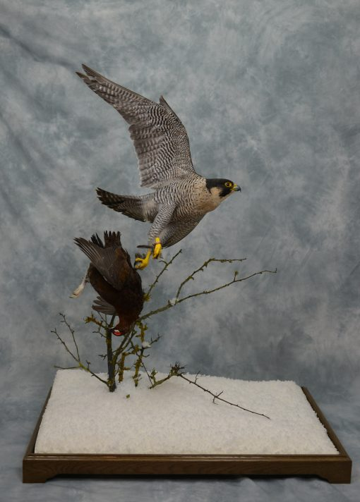 Taxidermy Peregrine Falcon falco peregrinus catching Grouse 12