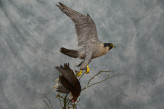 Taxidermy Peregrine Falcon falco peregrinus catching Grouse 13