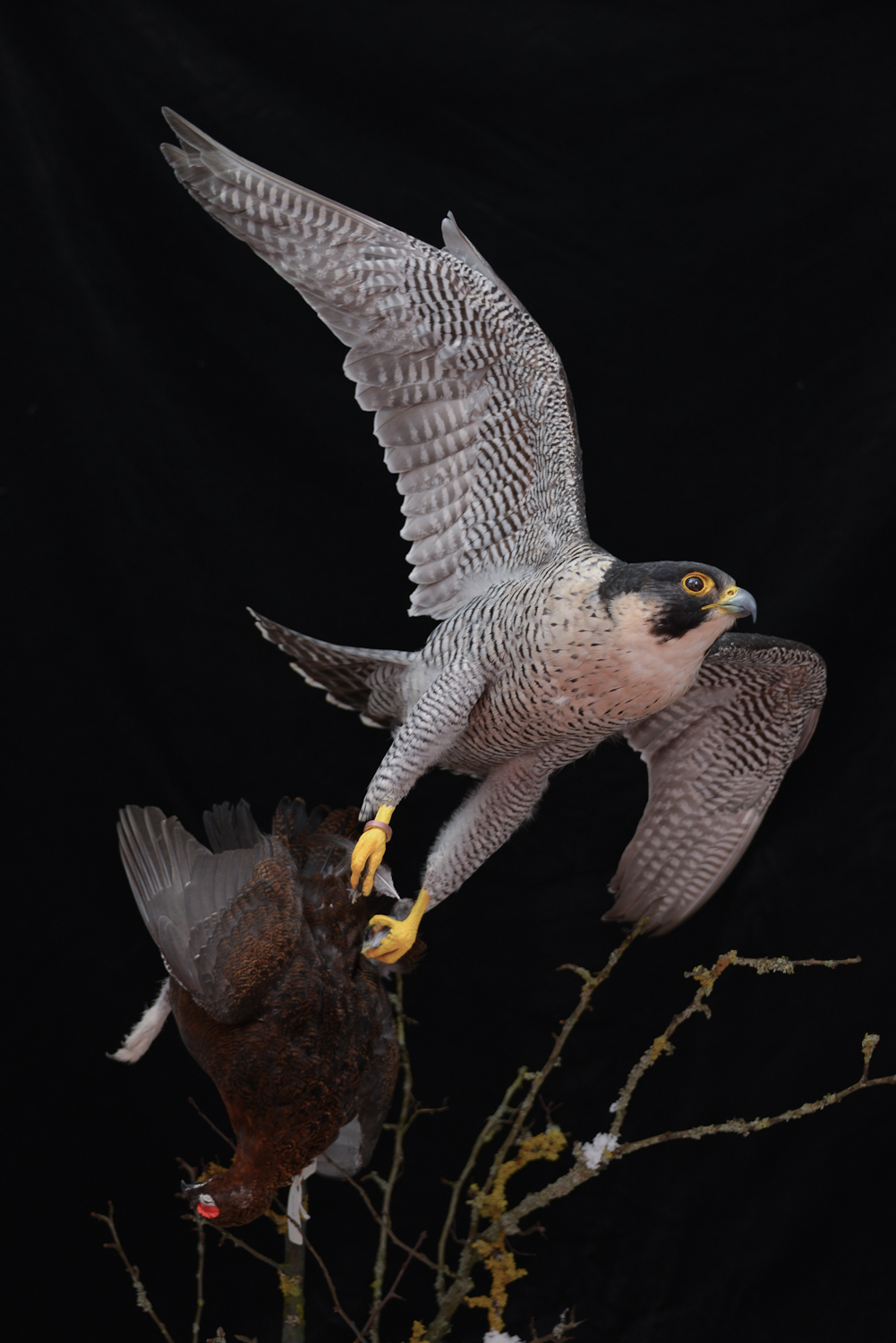 Taxidermy Peregrine Falcon falco peregrinus catching Grouse 2