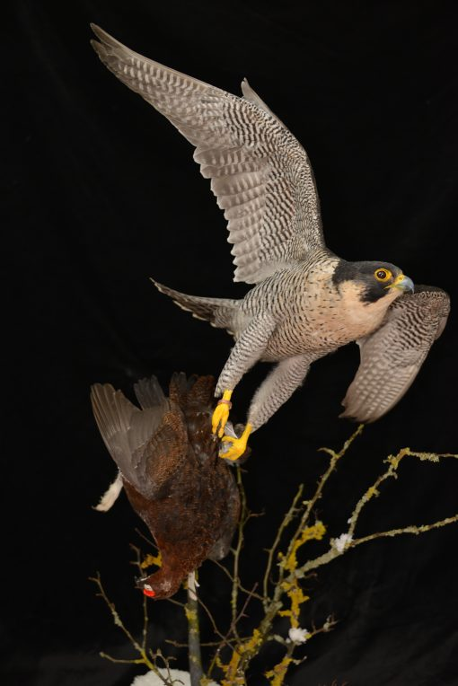 Taxidermy Peregrine Falcon falco peregrinus catching Grouse 4