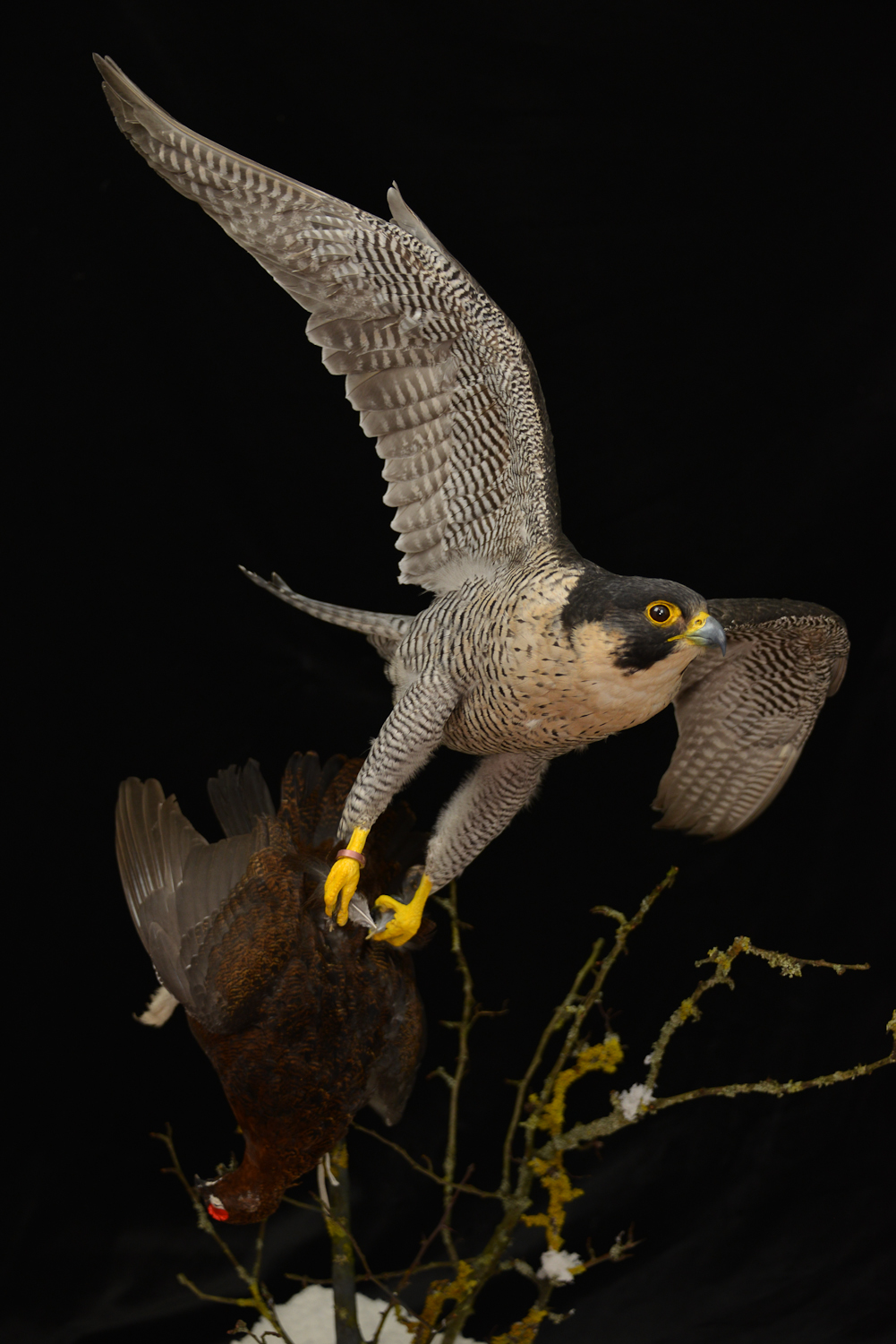 Taxidermy Peregrine Falcon falco peregrinus catching Grouse 5