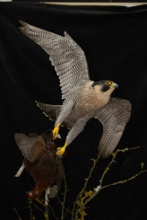 Taxidermy Peregrine Falcon falco peregrinus catching Grouse 6