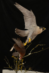 Taxidermy Peregrine Falcon falco peregrinus catching Grouse 7