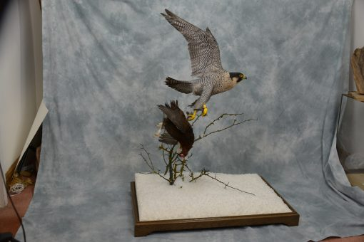 Taxidermy Peregrine Falcon falco peregrinus catching Grouse 14