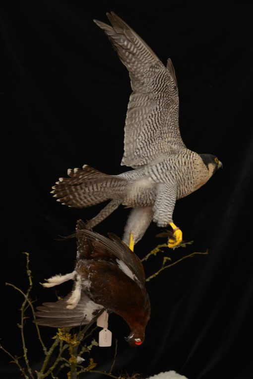 Taxidermy Peregrine Falcon falco peregrinus catching Grouse 8