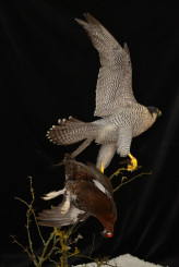 Taxidermy Peregrine Falcon falco peregrinus catching Grouse 9