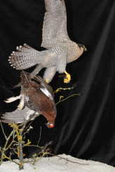 Taxidermy Peregrine Falcon falco peregrinus catching Grouse 10