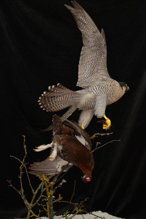 Taxidermy Peregrine Falcon falco peregrinus catching Grouse 11