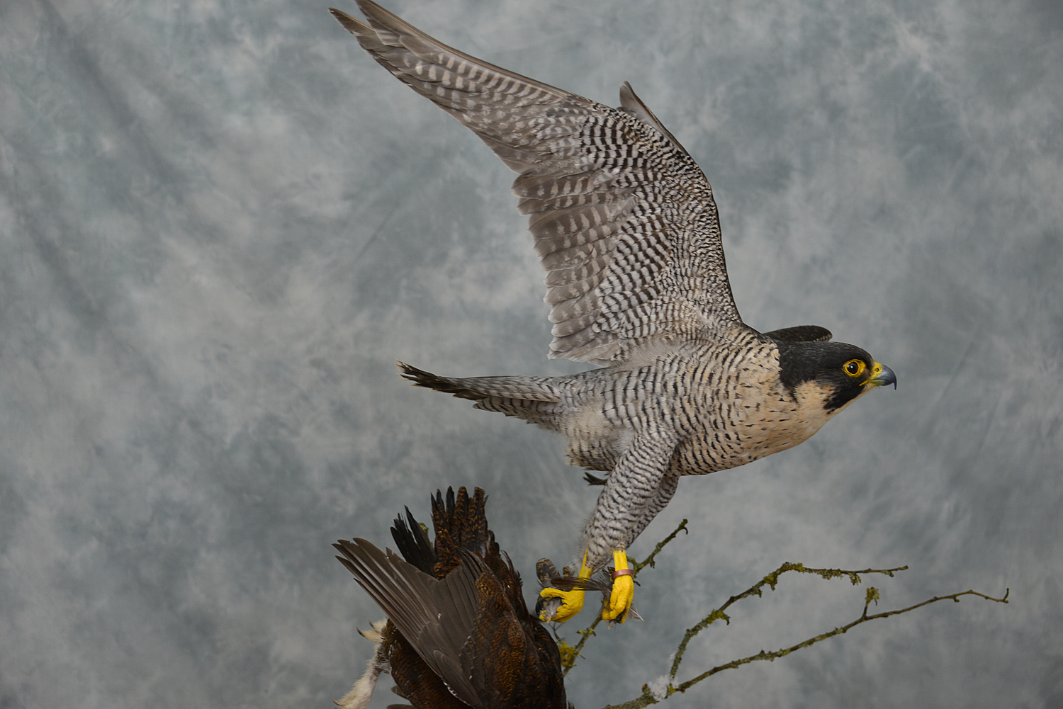Taxidermy Peregrine Falcon falco peregrinus catching Grouse 15