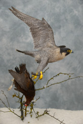 Taxidermy Peregrine Falcon falco peregrinus catching Grouse 16