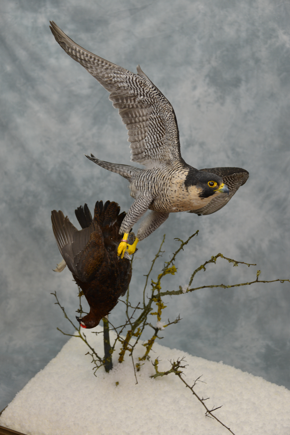 Taxidermy Peregrine Falcon falco peregrinus catching Grouse 18