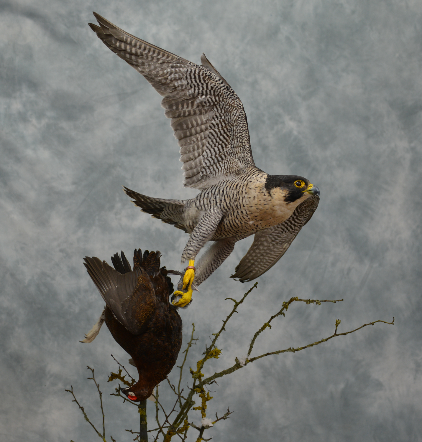 Peregrine Falcon Catching Grouse - UK Bird Small Mammal ...