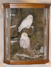 Taxidermy Snowy Owl (Bubo scandiacus)