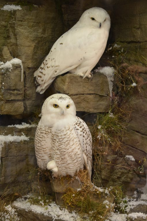 Taxidermy Snowy Owl (Bubo scandiacus) female
