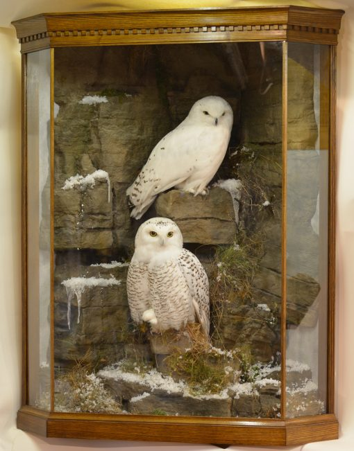 Taxidermy Snowy Owl (Bubo scandiacus) cased 2