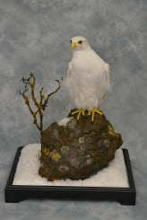 Taxidermy white Gyrfalcon in snow 7