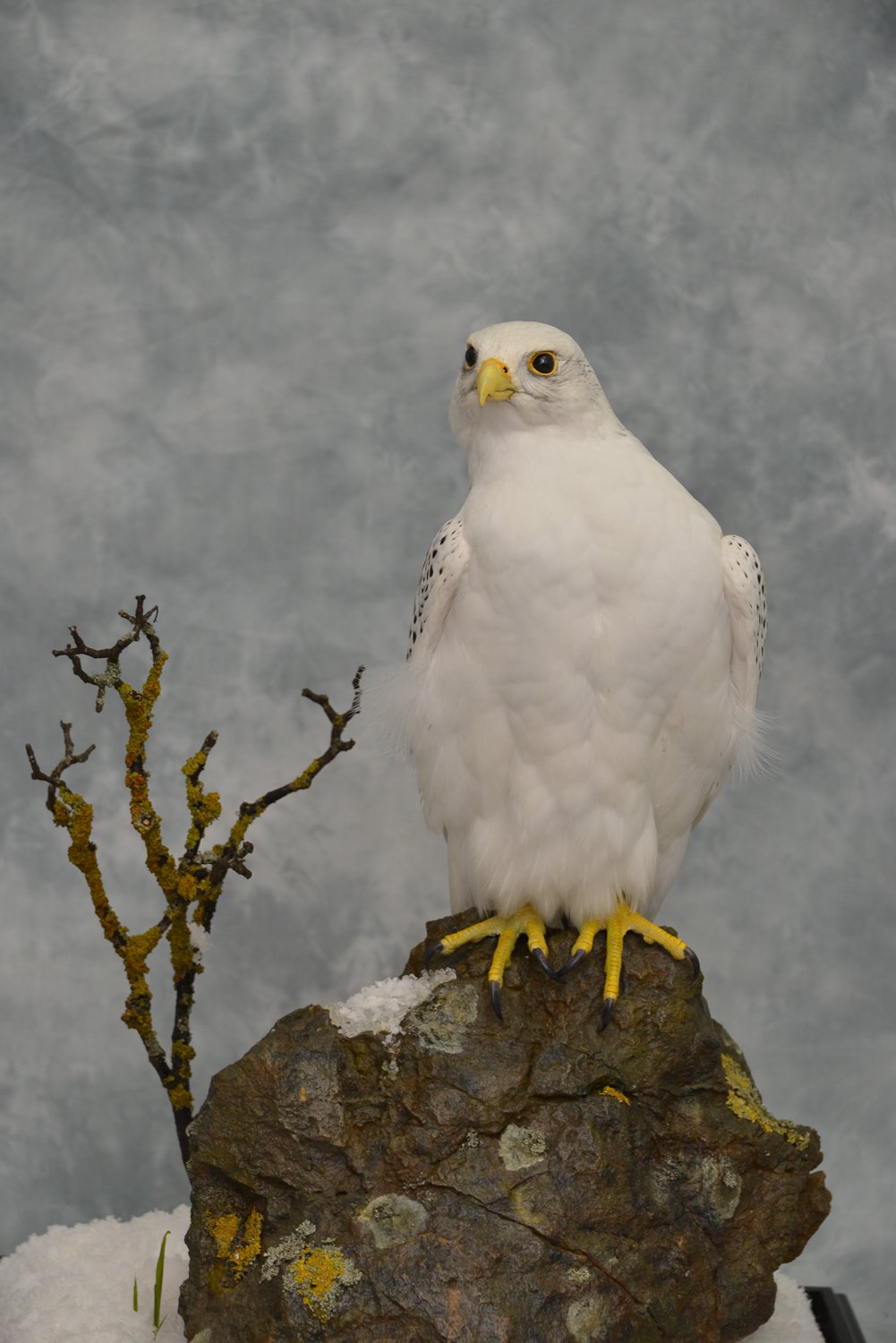 Taxidermy white Gyrfalcon in snow close up
