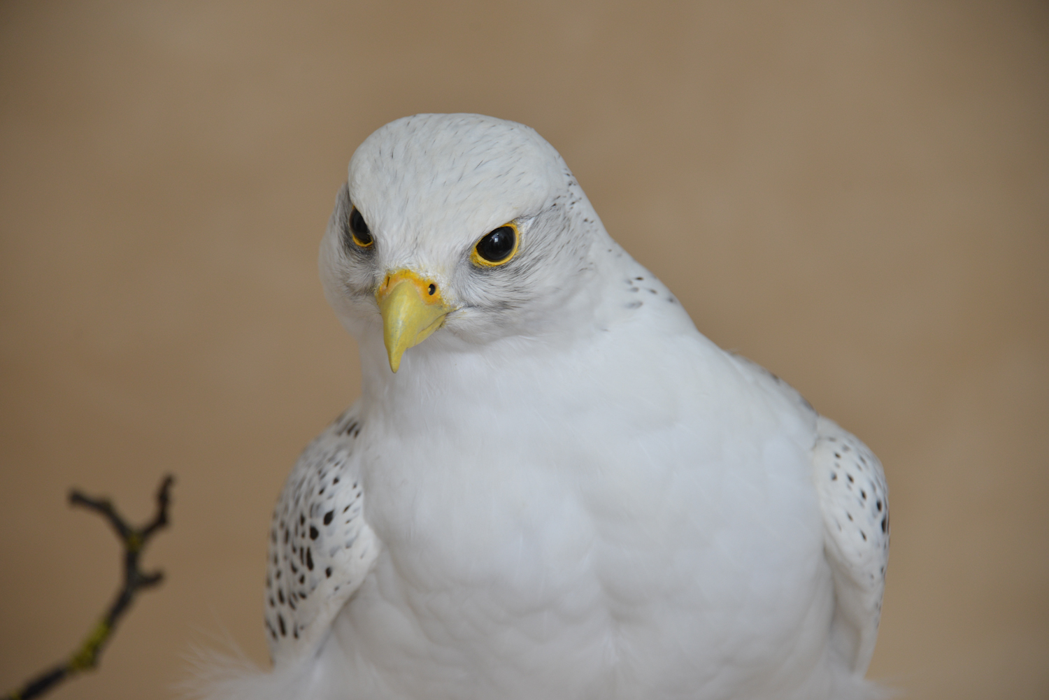Taxidermy white Gyrfalcon in snow head