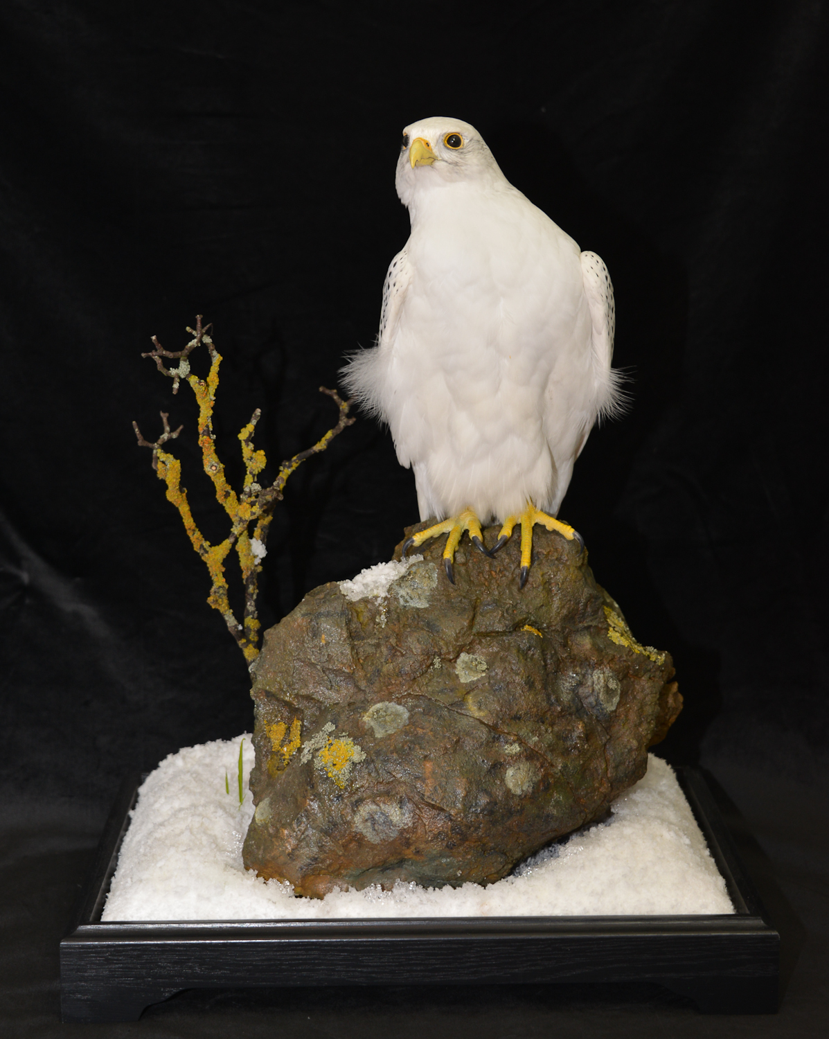 Taxidermy white Gyrfalcon in snow flash