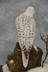 Taxidermy white Gyrfalcon in snow back