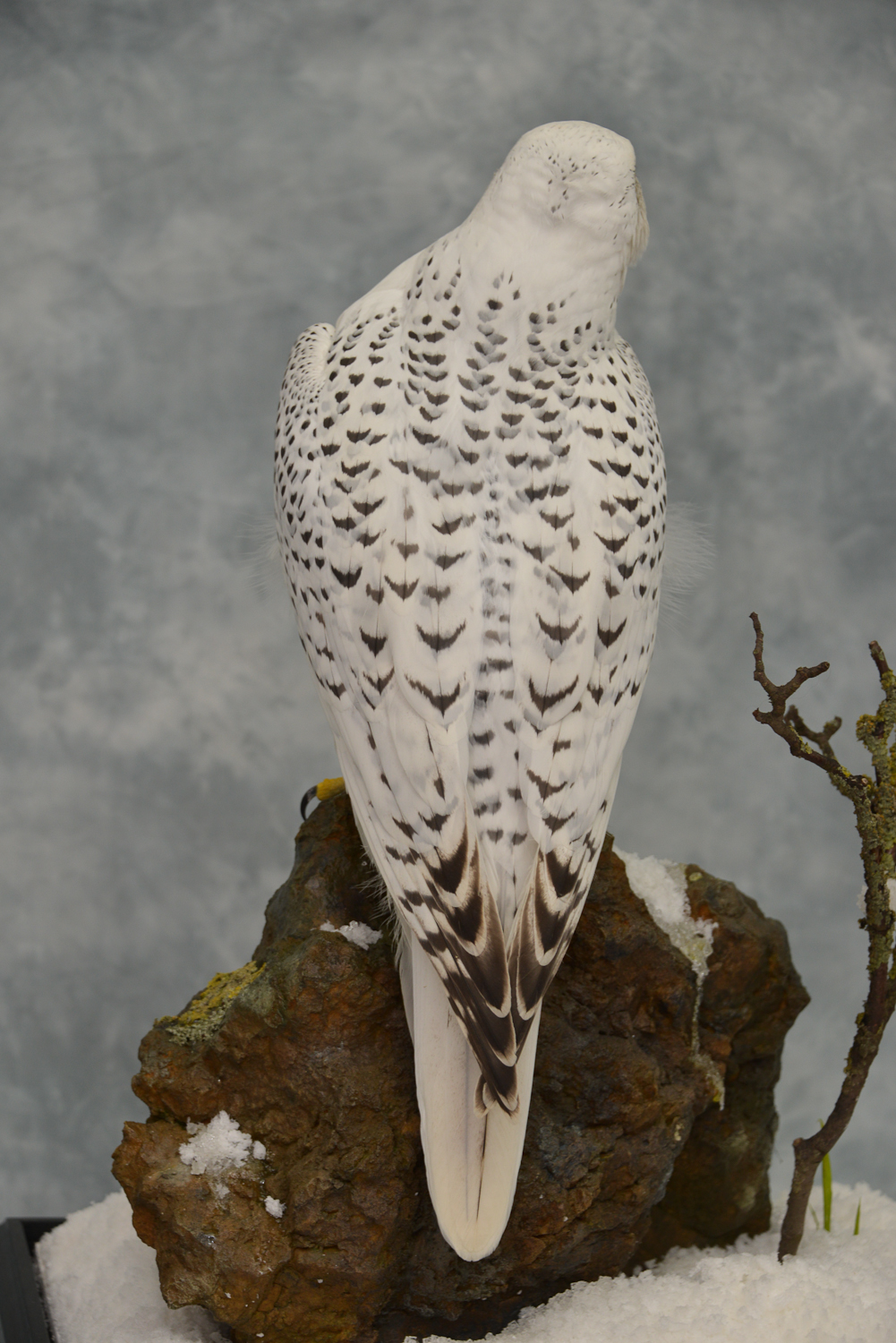 Taxidermy white Gyrfalcon in snow back