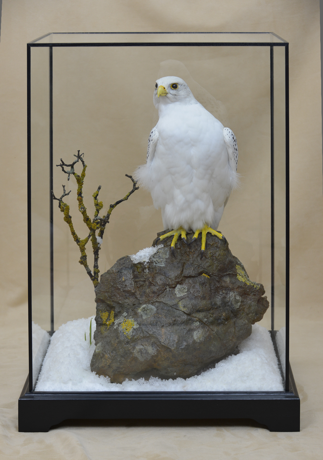 Taxidermy white Gyrfalcon in snow in case