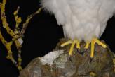 Taxidermy white Gyrfalcon in snow feet