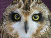 Short Eared Owl Head   Bird Taxidermy   Asio flammeus   by Mike Gadd