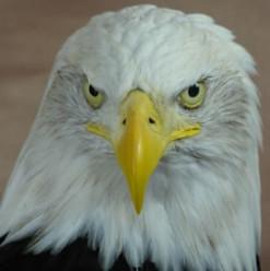 Eagle Taxidermy
