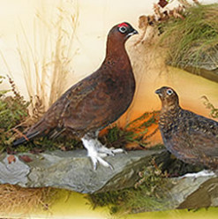 Game Bird Taxidermy
