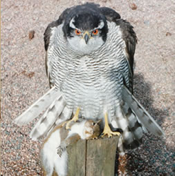 Goshawk Bird Taxidermy