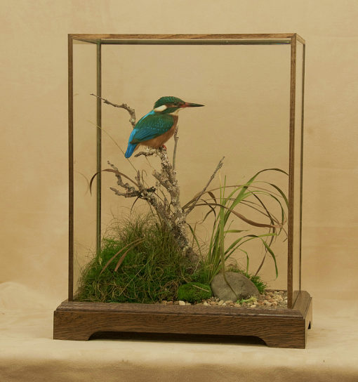 Kingfisher Bird Taxidermy cased