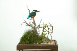 Kingfisher Bird Taxidermy on base