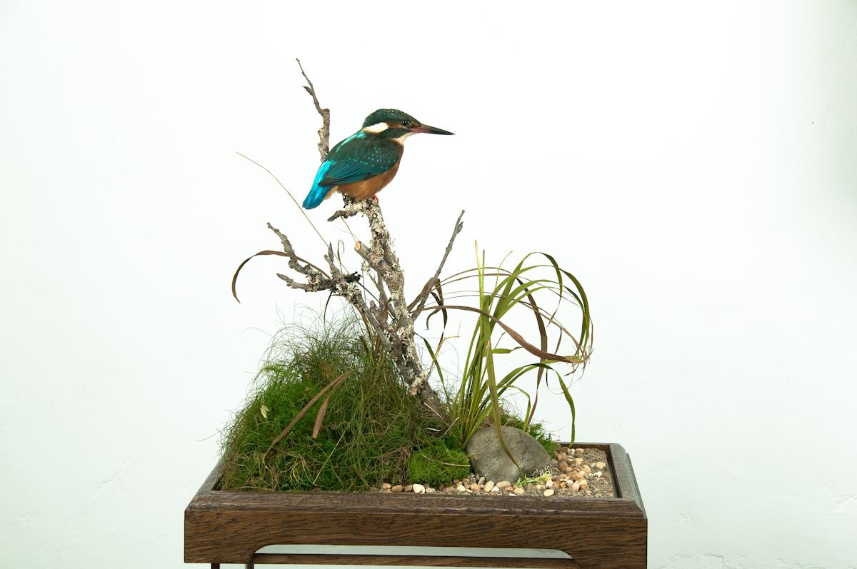 Kingfisher Bird Taxidermy on base