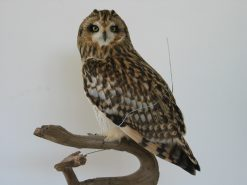Short Eared Owl | Bird Taxidermy | Asio flammeus