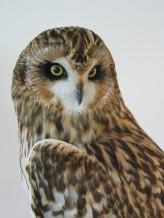Short Eared Owl   Bird Taxidermy   Asio flammeus   by Mike Gadd